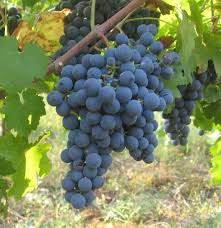 sherry grapes